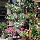 Margeritenbüsche im Mai