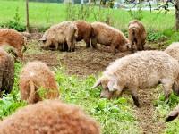 Mangalitza: eine der ältesten Nutztier Rassen, die es noch gibt.